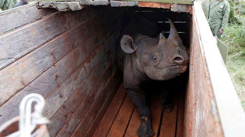 La población de rinocerontes negros crece por primera vez en 35 años