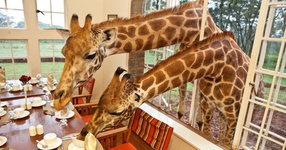 Foto: En algunos hoteles es posible compartir el desayuno con las jirafas