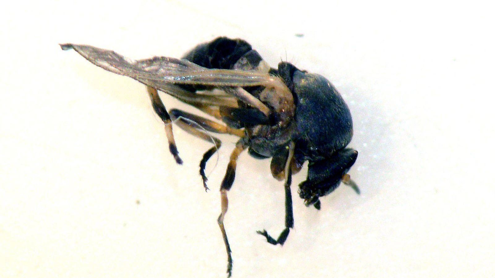 Foto: Una mosca negra.