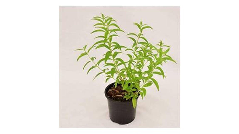 Plantas de interior medicinal Mondopiante de citronela