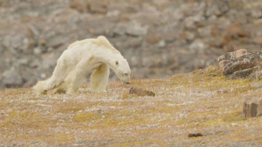 Foto: El vídeo muestra un oso polar en Canadá moribundo y hambriento (Paul Nicken)