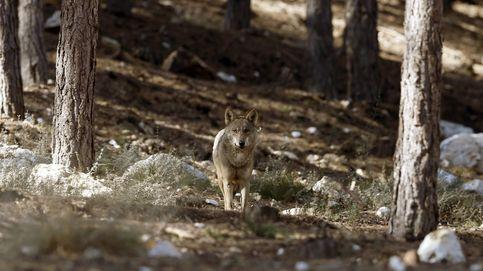 ¿Quién teme al lobo feroz? Madrid duplica las ayudas tras 250 ataques en 2016