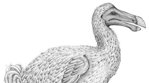 Científicos responden a un enigma histórico: ¿De qué color era el dodo?