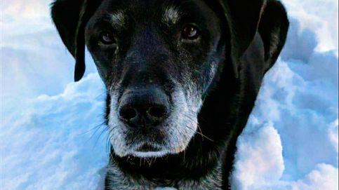 Hugo, el labrador que salvó a su dueño de 81 años de ahogarse en un canal helado