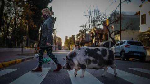 Tuti, el cerdo que anima la cuarentena