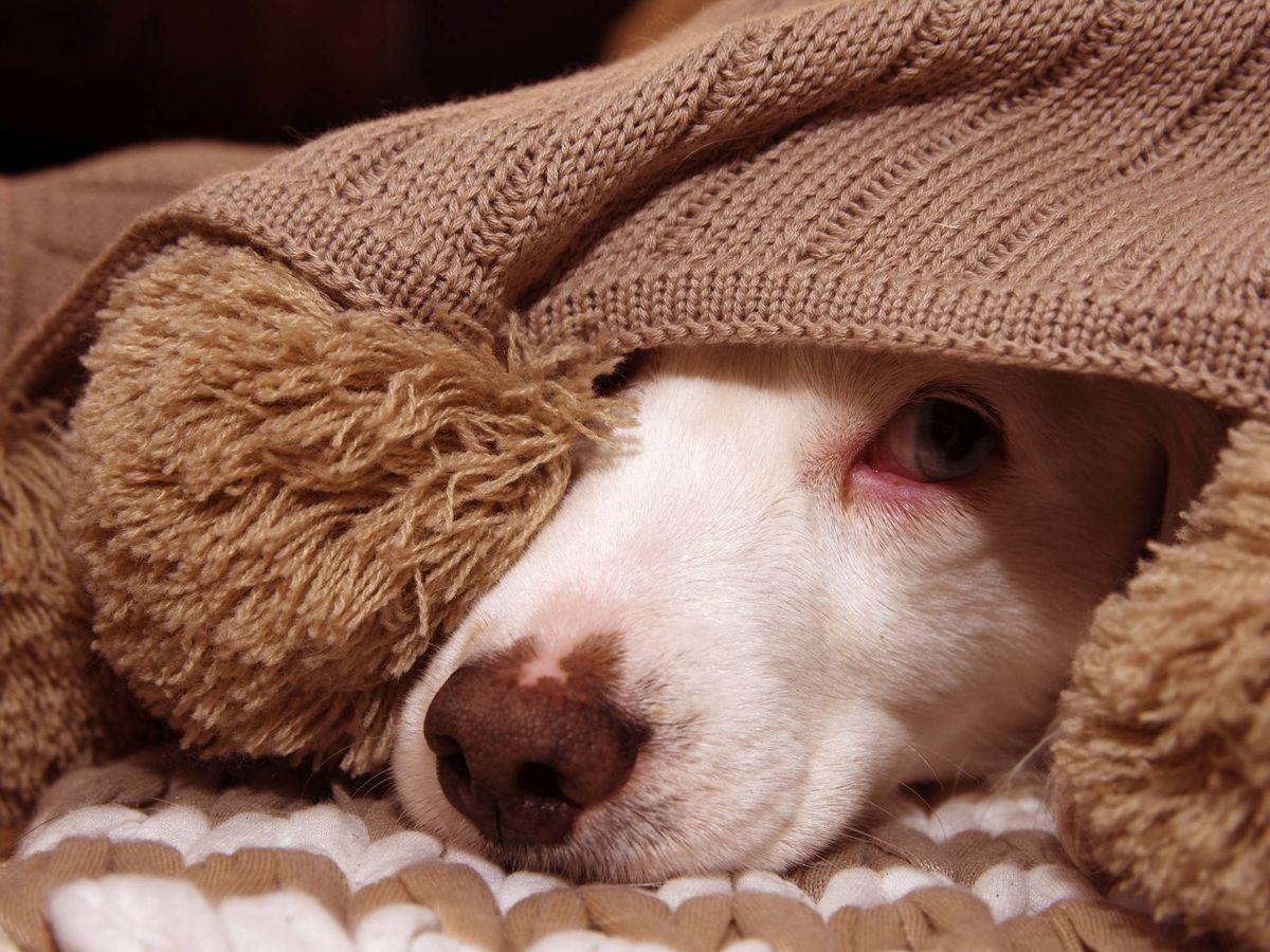 Foto: Así puedes tranquilizar a tu perro para que no se asuste con los petardos (iStock)
