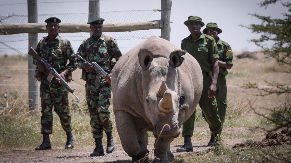 Foto: Científicos extraen óvulos de los dos últimos rinocerontes blancos del mundo