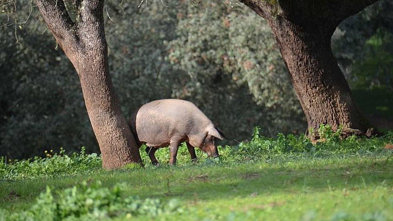 Cerdo ibérico en etapa montanera. (Creative Commons/Sietemandarinas)