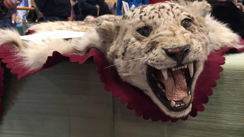 De fabricar zapatos a disecar tigres y leones: la última industria 'underground' de Alicante