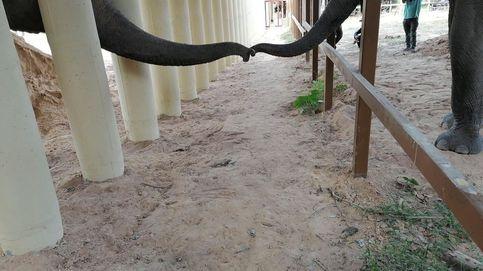 El elefante más solitario del mundo tendrá compañía después de 8 años