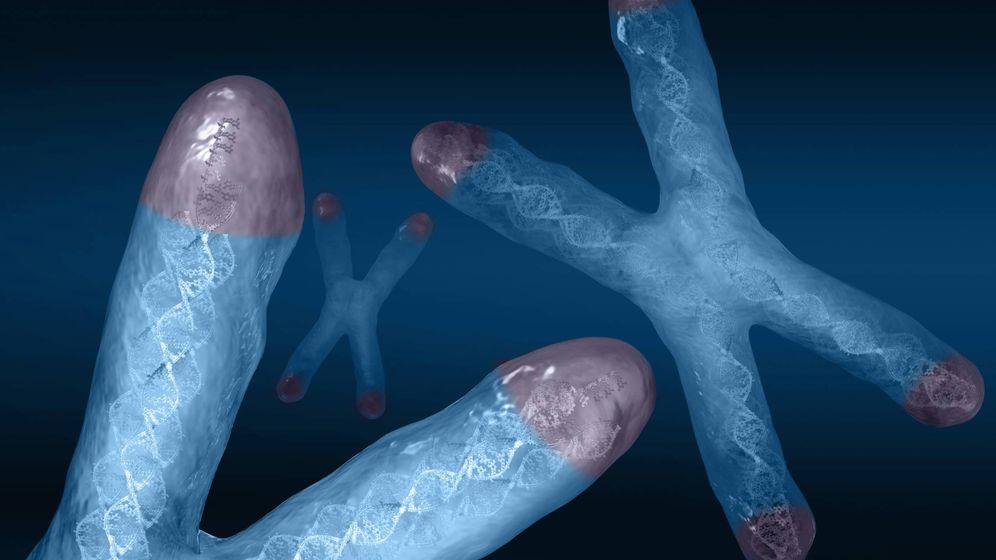 Foto: Así son los telómeros. (Carol y Mike Werner/Visuals Unlimited/Corbis)
