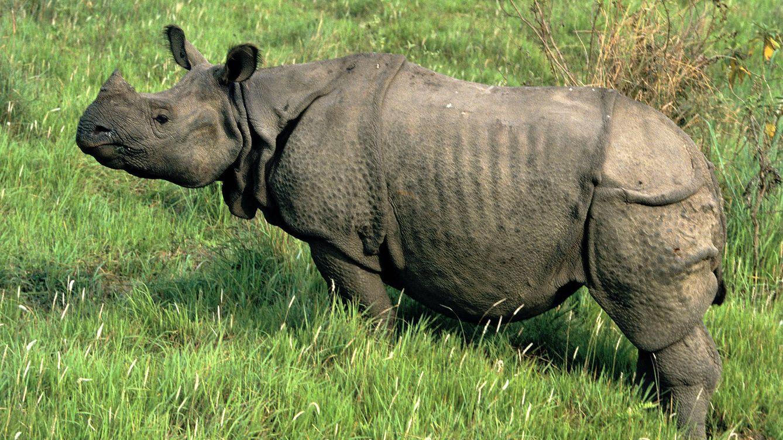 Chitwan, el último paraíso del rinoceronte indio