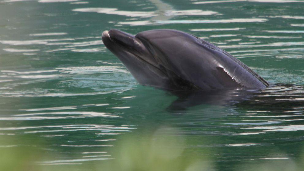 Movilización en Japón para intentar salvar a un delfín que se está volviendo loco