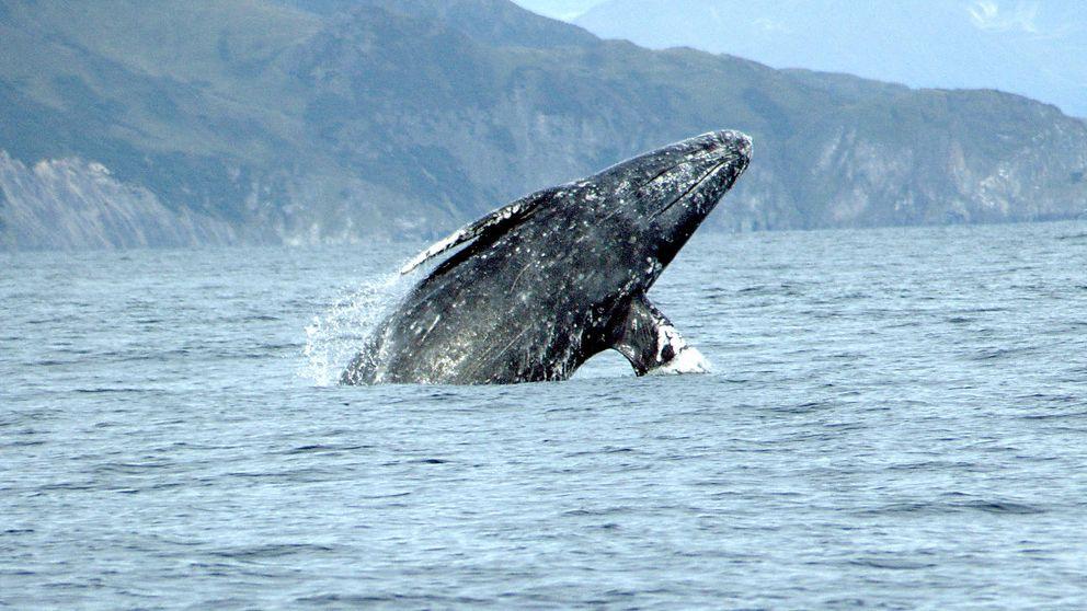 Una ballena gris bate el récord de distancia en una migración