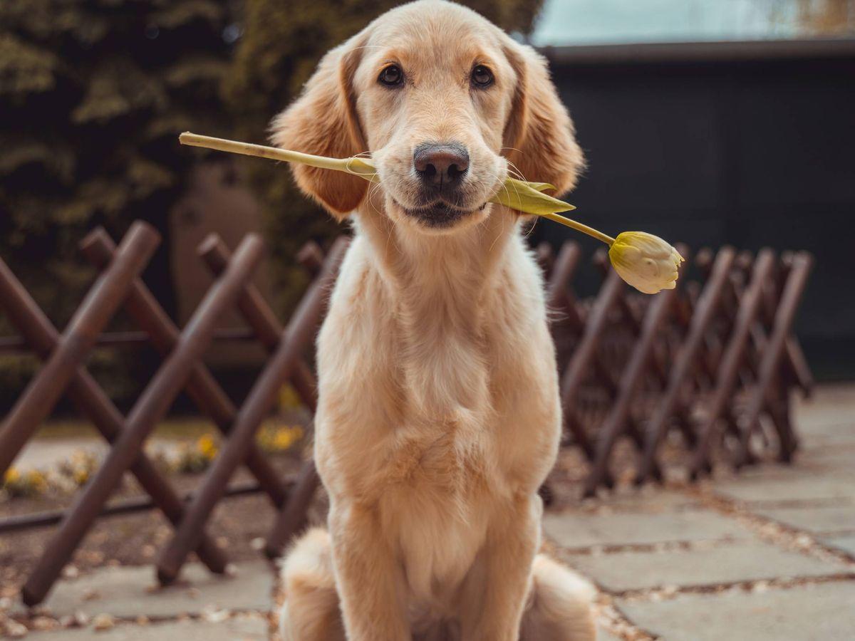 Foto: Perros y cuarentena. (Richard Brutyo para Unsplash)