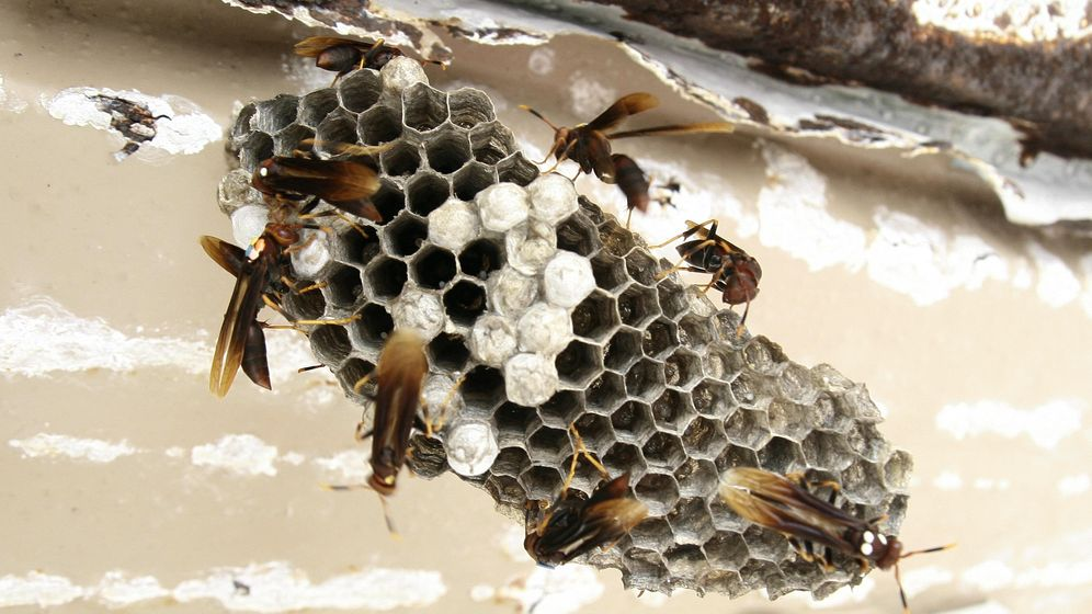 Foto: Un nido de avispas autóctonas. (Patalano)