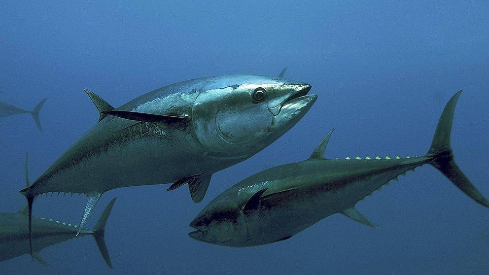 Un inspector español de la UE fracasó en que Malta liberase 262 t de atún ilegal