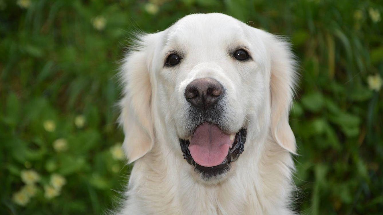 El cáncer que se contagia de perro a perro: el más antiguo del mundo