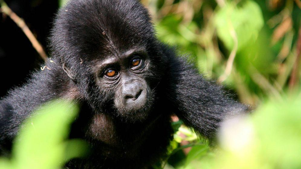 Foto: Cría de gorila en Uganda. (Javier Brandoli)