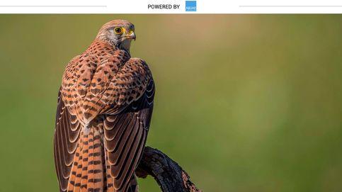 Cernícalo, el ave que se 'independiza' de sus padres al mes de haber nacido