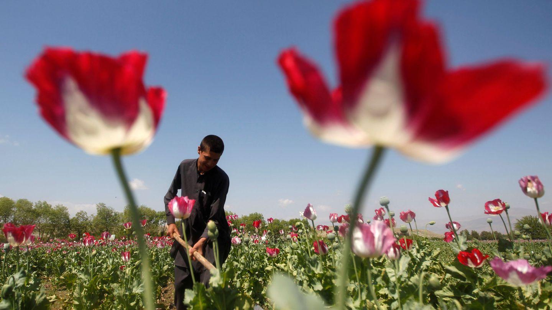 Un hombre trabajando en un campo de amapolas en Afganistán. (Reuters)