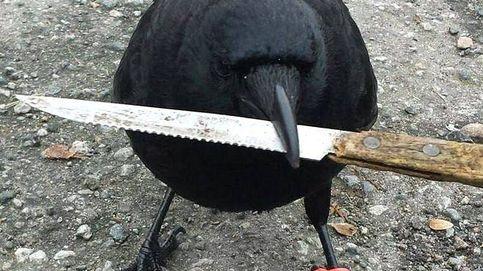 Así es Canuck, el cuervo que tiene aterrorizado a los vecinos de Vancouver