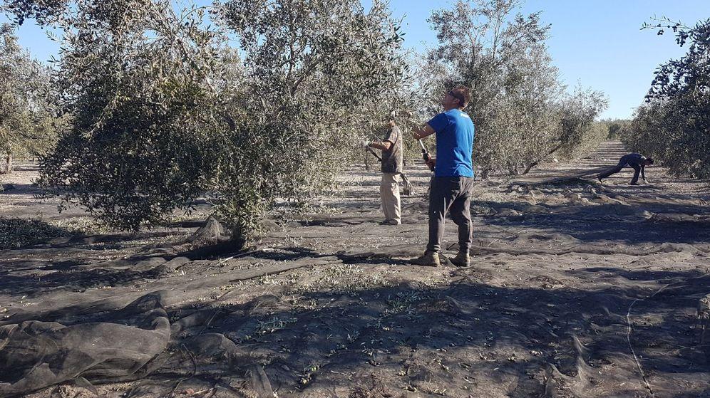 Foto: Trabajadores en la recogida de la aceituna en la localidad sevillana de Arahal. (EFE)