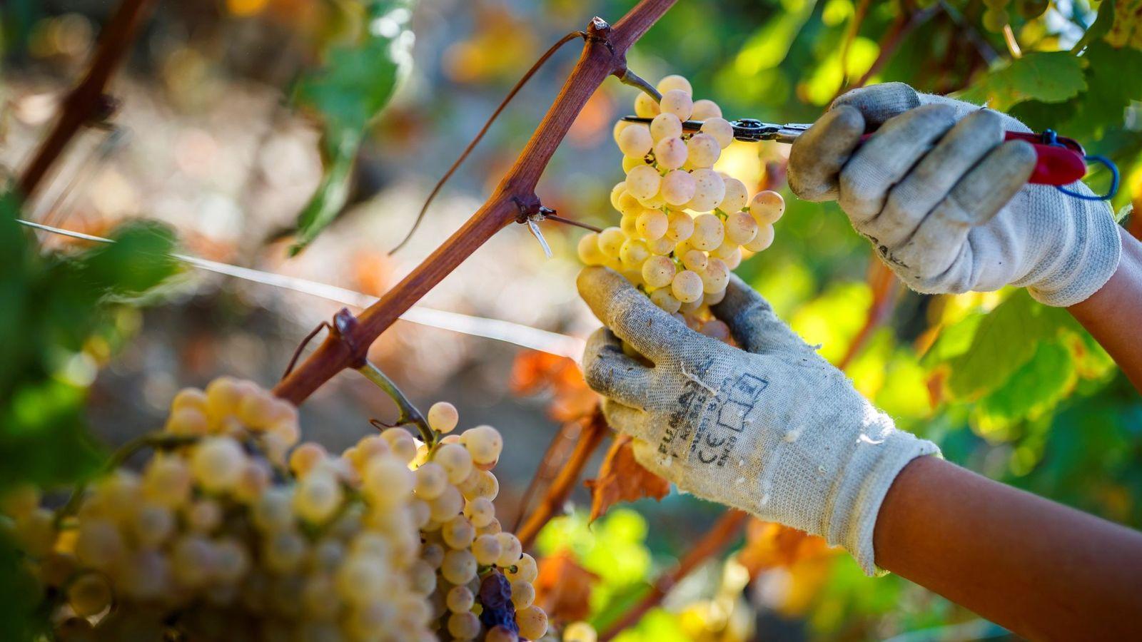 Foto: Las uvas, una de las mejores frutas para retrasar enfermedades degenerativas. (EFE/Valentin Flauraud)