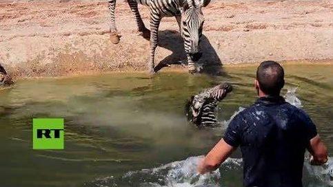 Estos cuidadores salvan a una cebra recién nacida de morir ahogada