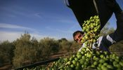Noticia de Agricultura ofrece Deoleo a inversores españoles antes que recurrir a la SEPI