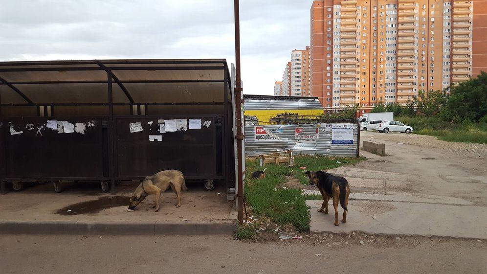 Foto: Perros callejeros en el barrio de Panorama, en Krasnodar. (A. P.)