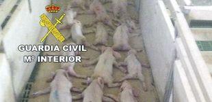 Post de Dos jóvenes matan a 19 lechones saltando sobre ellos y lo difunden por WhatsApp