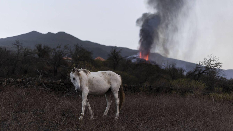 Foto: Un caballo en el pueblo de Tacande, La Palma, el 1 de octubre. (Alejandro Martínez Vélez)
