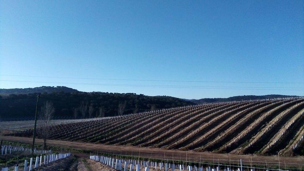 Foto: Finca plantada de olivar superintensivo. (De Prado)