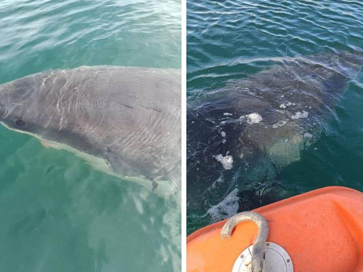 Foto: Avistamiento de un tiburón blanco en Galicia (Puerto de A Coruña).