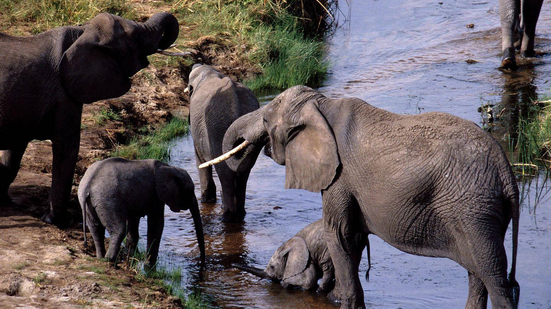 Elefantes africanos con sus crías. (Andoni Canela)