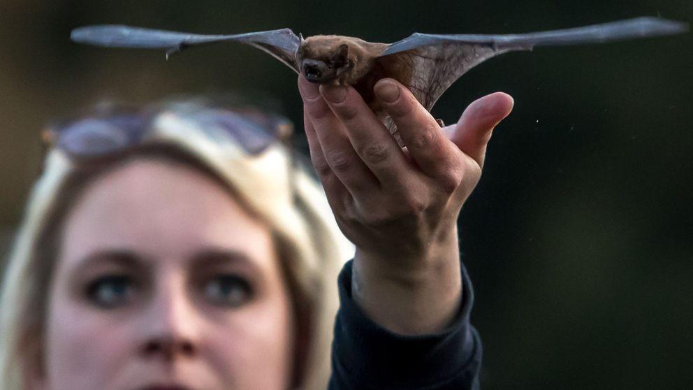 Cómo el metabolismo de los murciélagos podría dar pistas para tratar el covid-19