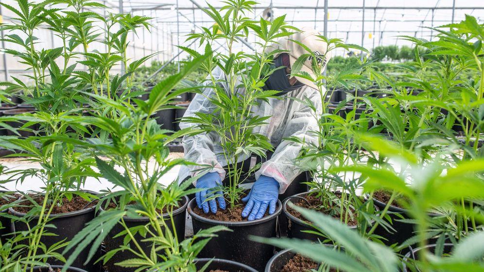 Foto: Una explotación legal de cannabis. (EFE)