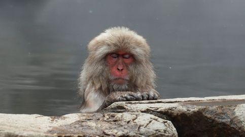 Los macacos japoneses, a remojo