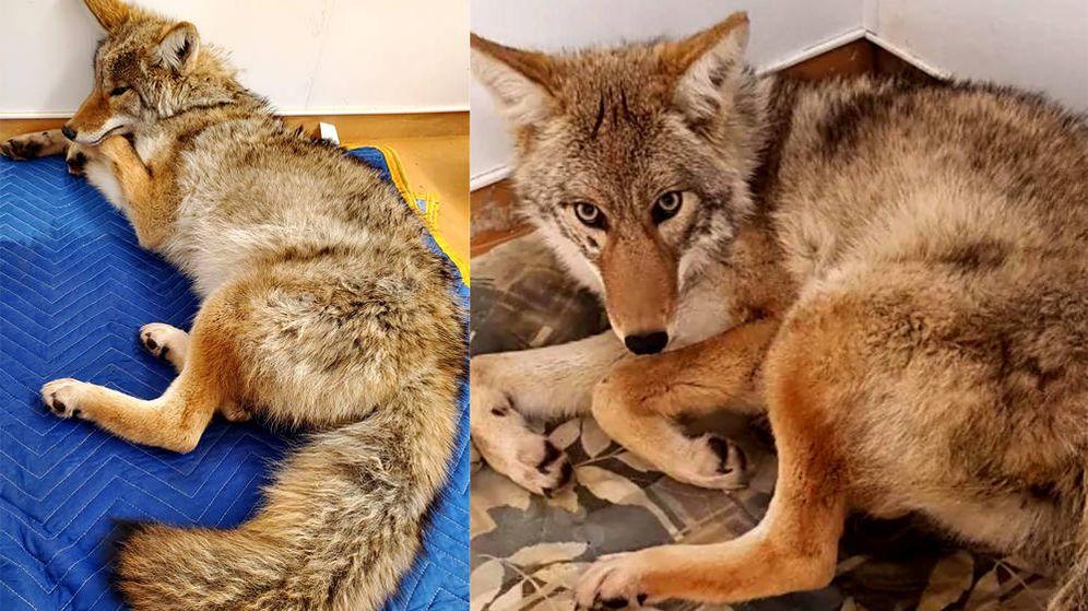 Foto: El hospital ha difundido imágenes del coyote, que se encuentra en buen estado (Foto: Facebook)