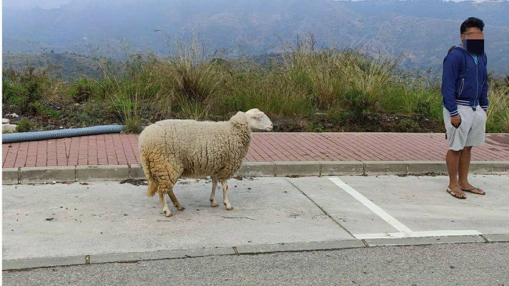 Denunciado por sacar a pasear una oveja durante el confinamiento en Marbella