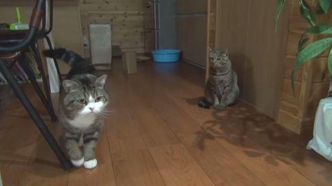 Grumpy Cat y Surprise Kitten, entre los gatos más famosos de YouTube
