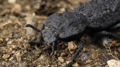 El 'diabólico' escarabajo que no muere aunque sea atropellado