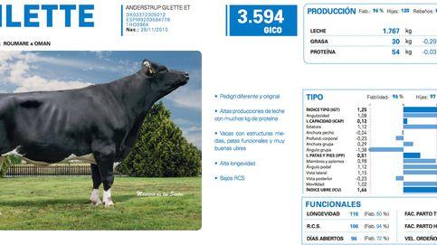 El Tinder de las vacas: así se eligen los mejores sementales