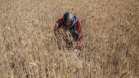 La cosecha del trigo en Gaza y la pascua ortodoxa: el día en fotos