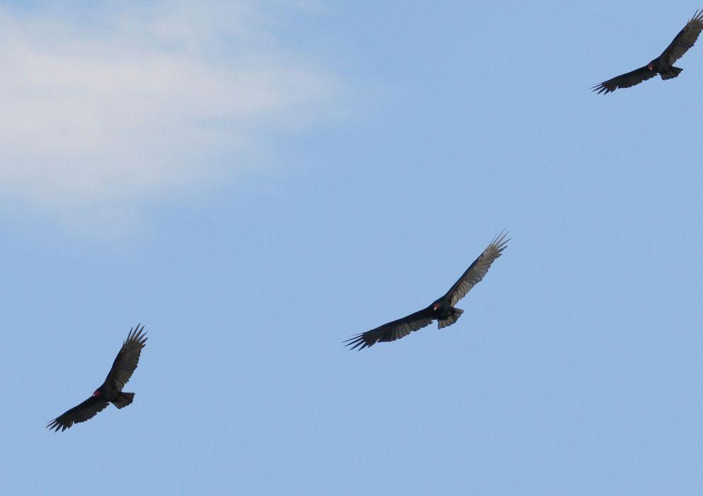 Foto: Varios buitres sobrevolando