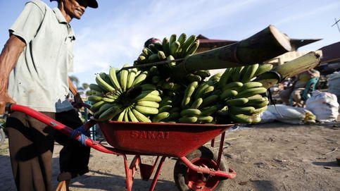 ¿Y si desaparecen los plátanos? Una plaga amenaza la cosecha mundial