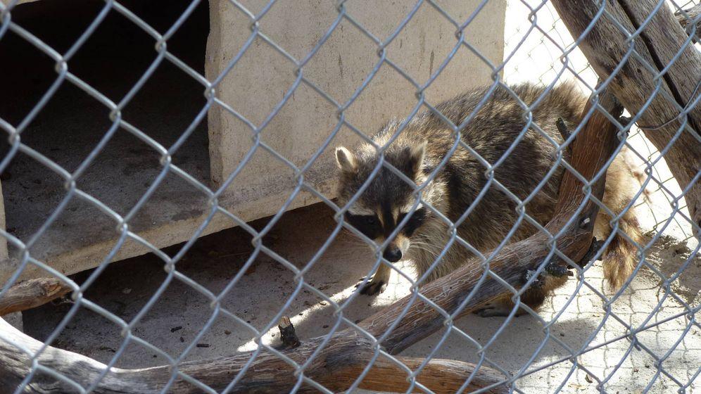Foto: Uno de los mapaches capturados por la Comunidad de Madrid