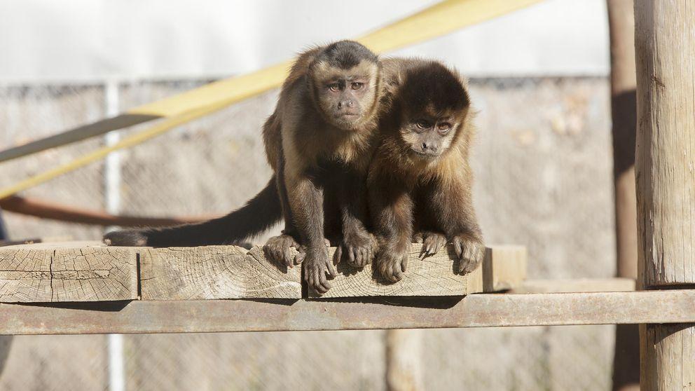 Los primates del mayor santuario de España, en riesgo de desahucio