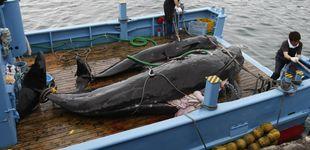 Post de Japón no da marcha atrás y volverá a la caza de ballenas con fines comerciales